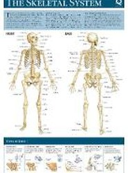 Human Anatomy Wallchart