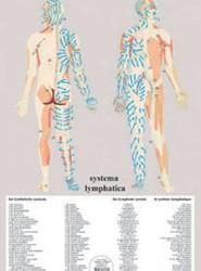 Systema Lymphatica - A2